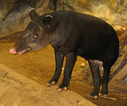 The L-A True Hollywood Story--Tapir Bairds_Tapir